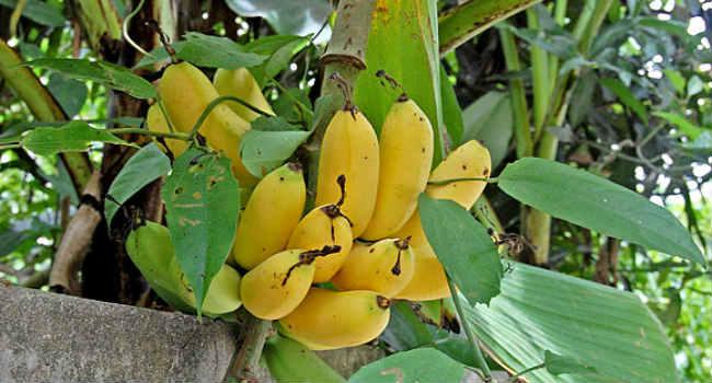 banan-vred