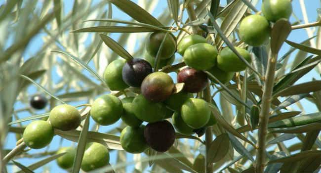 оливки-польза для организма