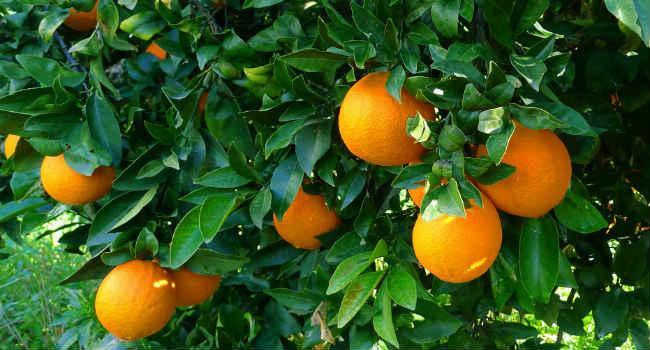 апельсины-как растут-состав-свойства