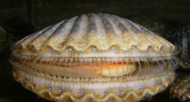 морские гребешки-как выглядят фото
