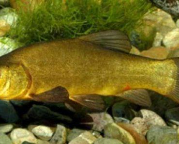 рыба линь-свойства-состав-калорийность
