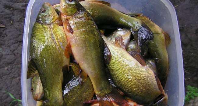 рыба линь-свойства