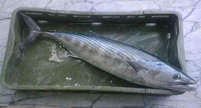 рыба пеламида-состав-польза и вред