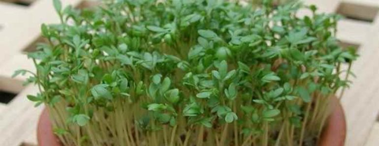 кресс салат-польза-вред