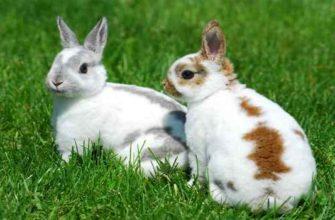 мясо кролика-чем полезно-вред