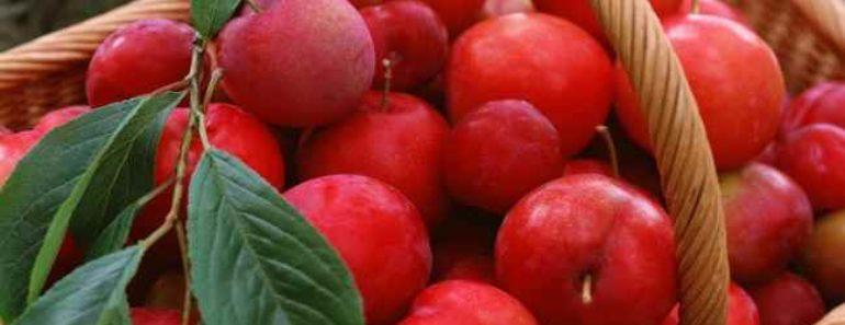 яблоки ранетки-райские яблоки