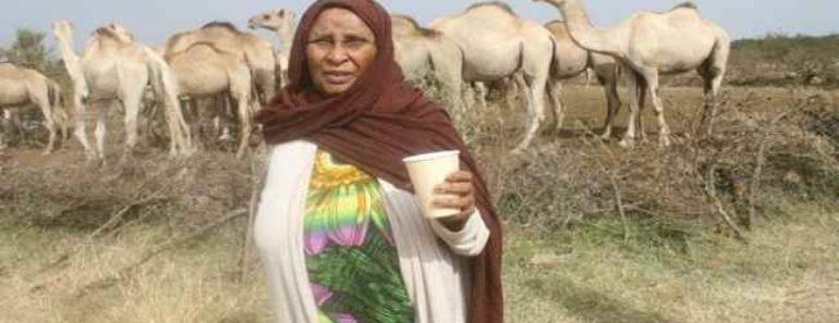 верблюжье молоко-польза-вред-от чего помогает