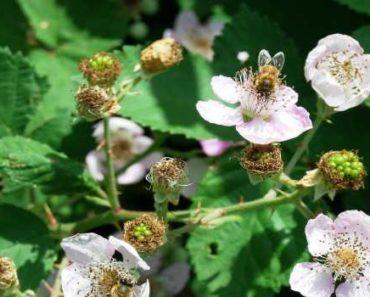 ежевичный мед-чем полезен-противопоказания