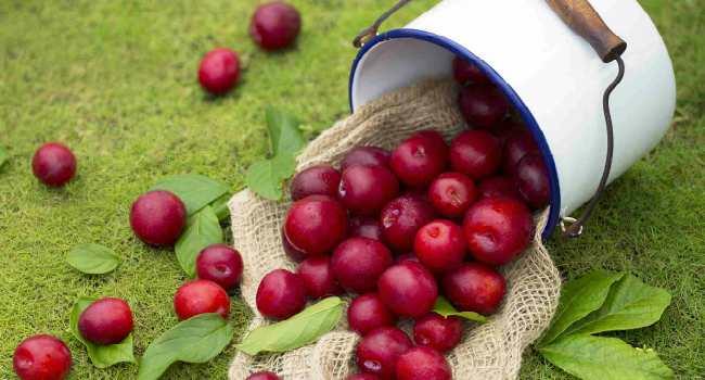 красная слива-польза и вред для здоровья