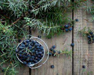 ягоды можжевельника-в кулинарии свойства и применение