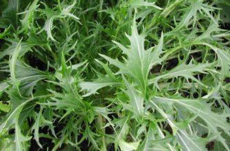 мизуна-японская капуста польза и вред
